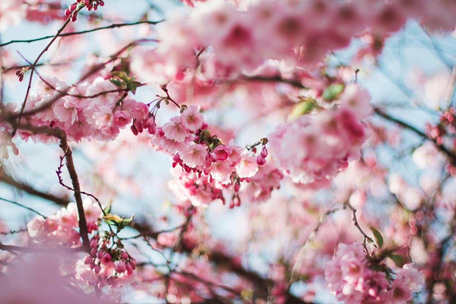 bloomin-cherry-blossoms