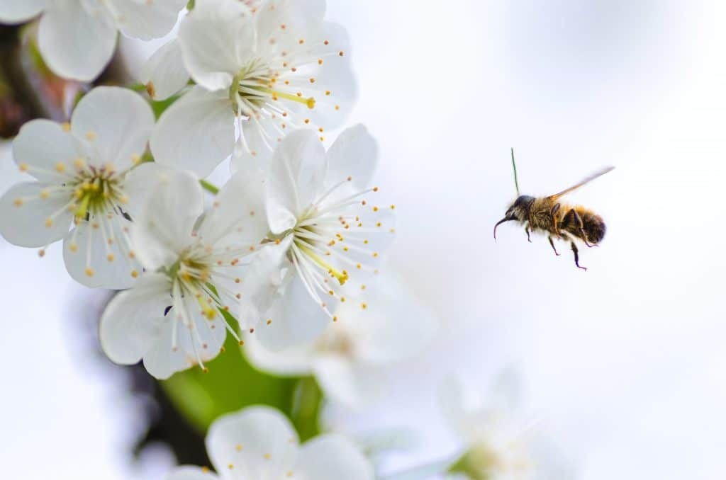 close-up-photo-of-bee-flying-next-to-white-flowers