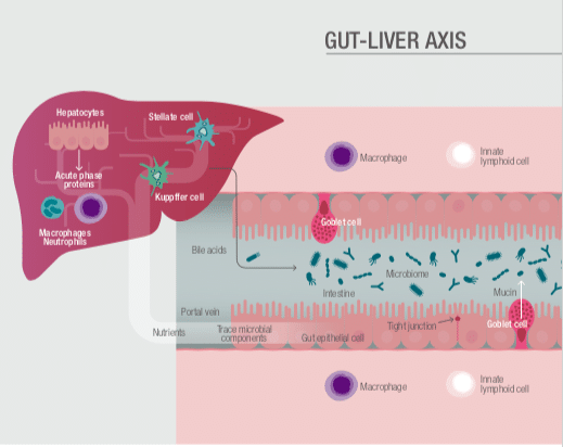 Gut Liver Axis