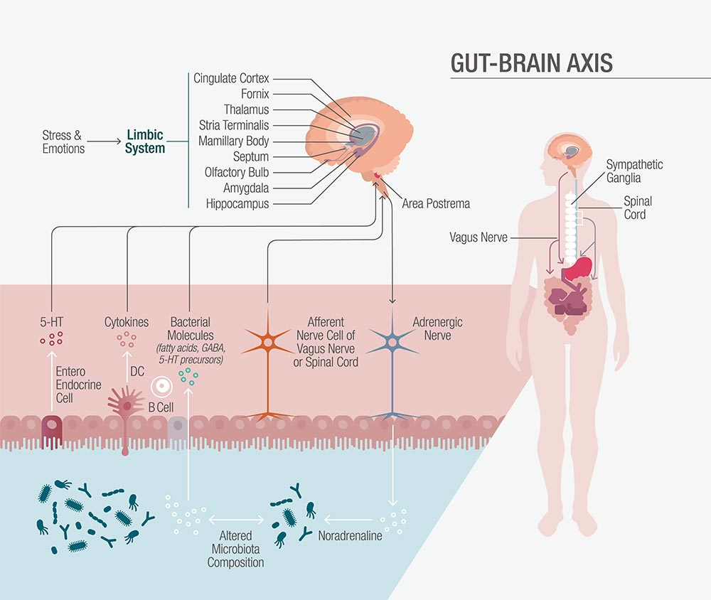 gut brain axis